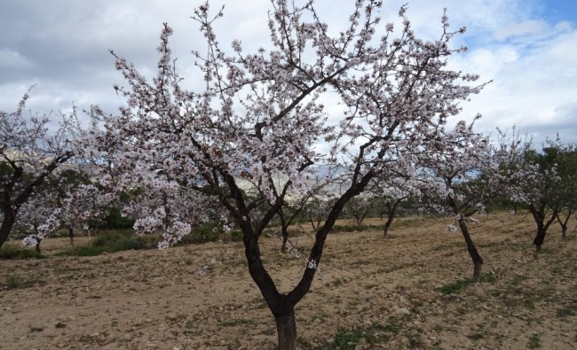 Agricultural excursion to Alcublas: the flowering of almond trees and their history