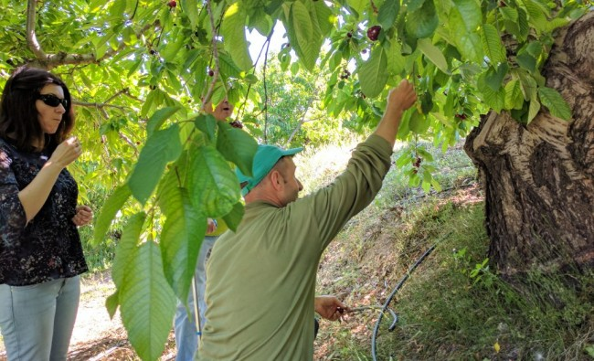 Agricultural excursion to Planes and Alcoy: discover the world of cherries